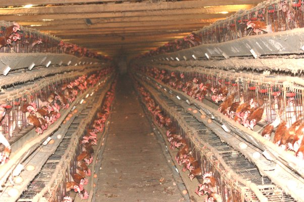 Classe pollaio a Todi