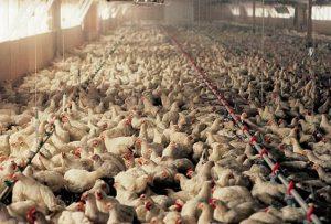 Classi pollaio