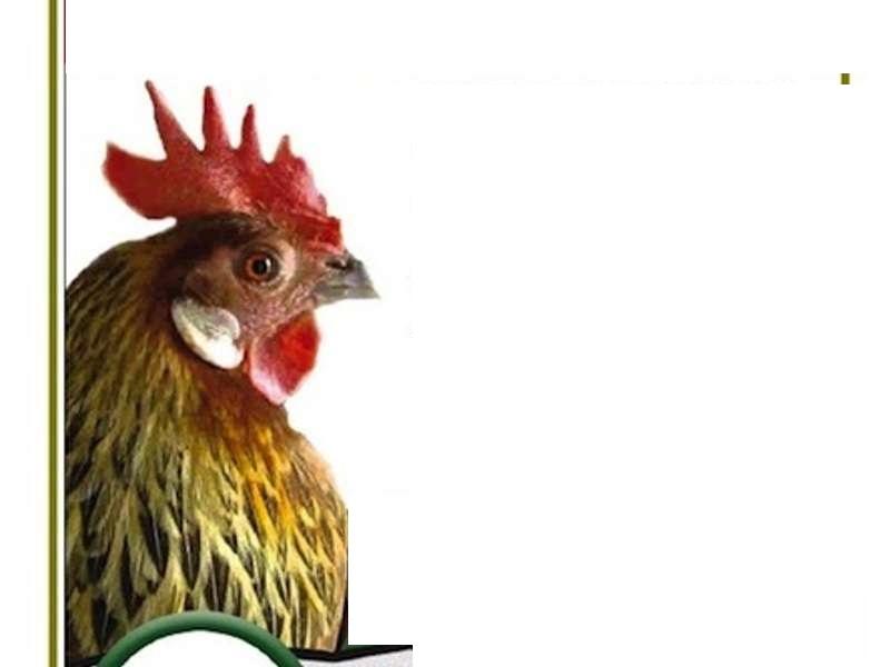 No-alle-classi-pollaio